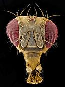 drosophala-head.jpg