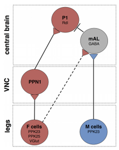 Figure 3 displays the circuitry discovered by Dr. Scott's team that connects the F- and M-cells to the PPN1 in the VNC and the mAL neurons and P1 neurons in the brain.
