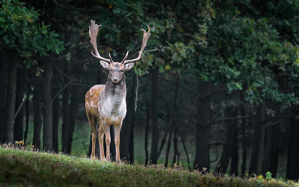 Dovhjort - Hjort
