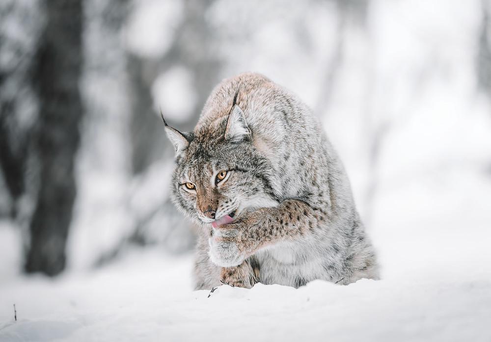 Lodjur - Lo - kattdjur