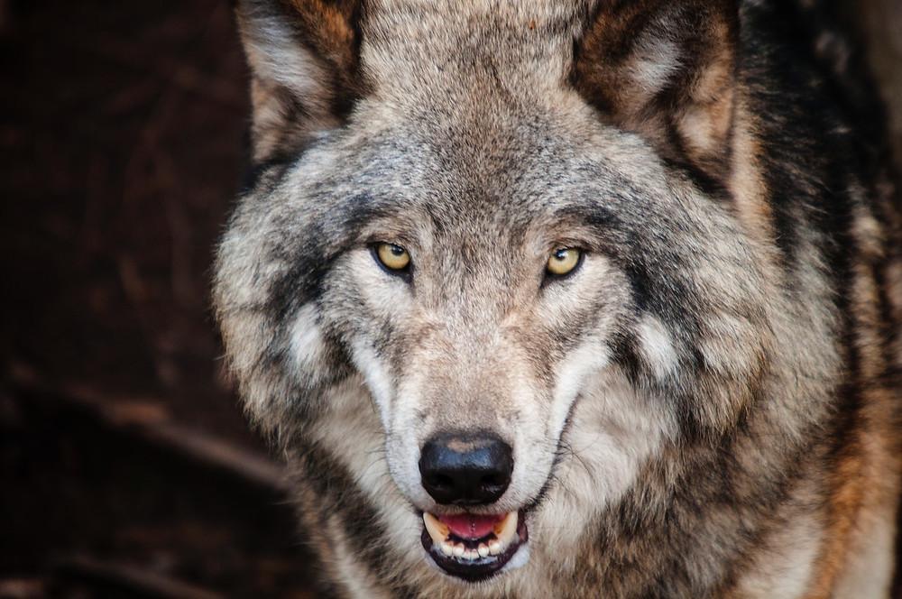 Varg - Wolf