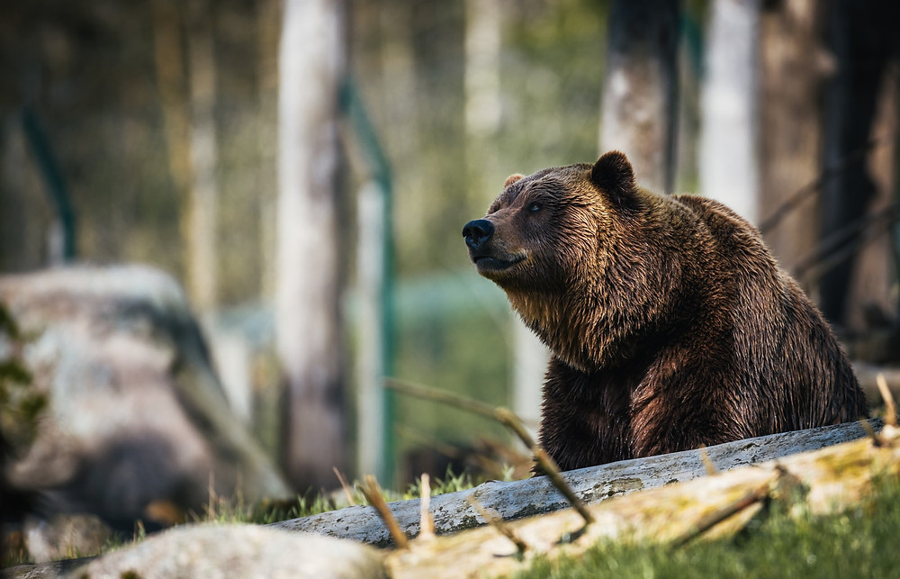Björn - Brunbjörn