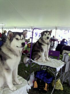 The Malamutes!