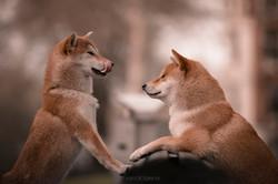 dois_cachorros_da_raça_akita_japonês