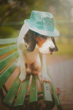 Beagle in hat