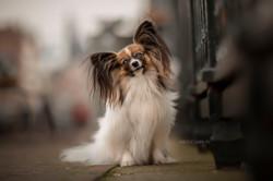foto_pet_artística_cachorro_papillon