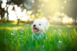 White terrier dog and the bubbles