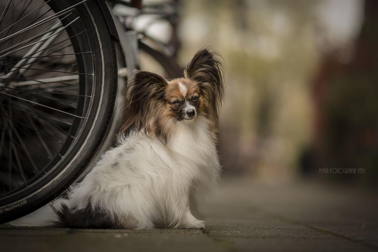 foto cachorrinha papillon e bicicleta