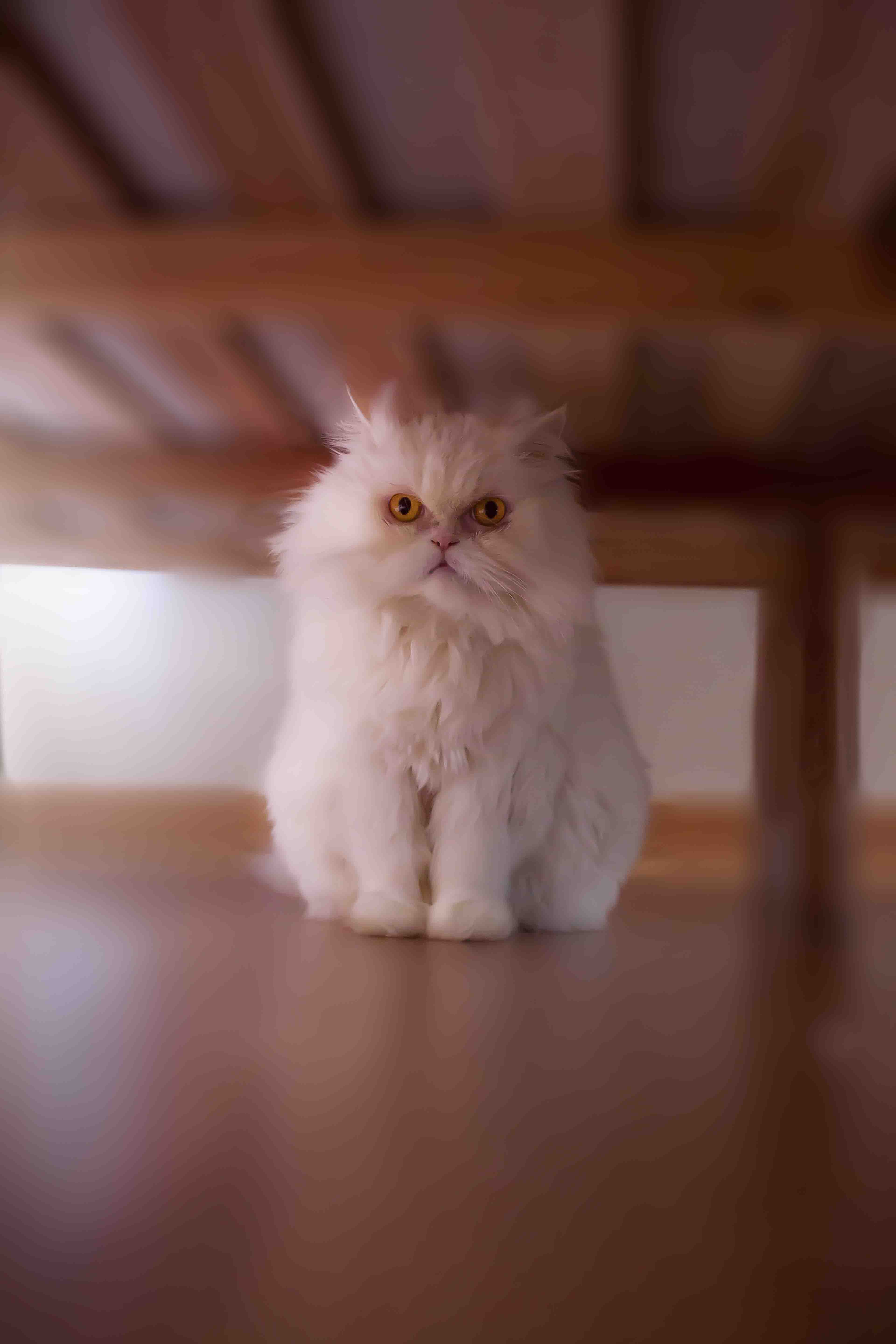 Hide and seek with persian cat