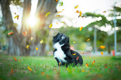 Cavalier king dog and the leaves