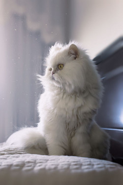 White persian cat portrait