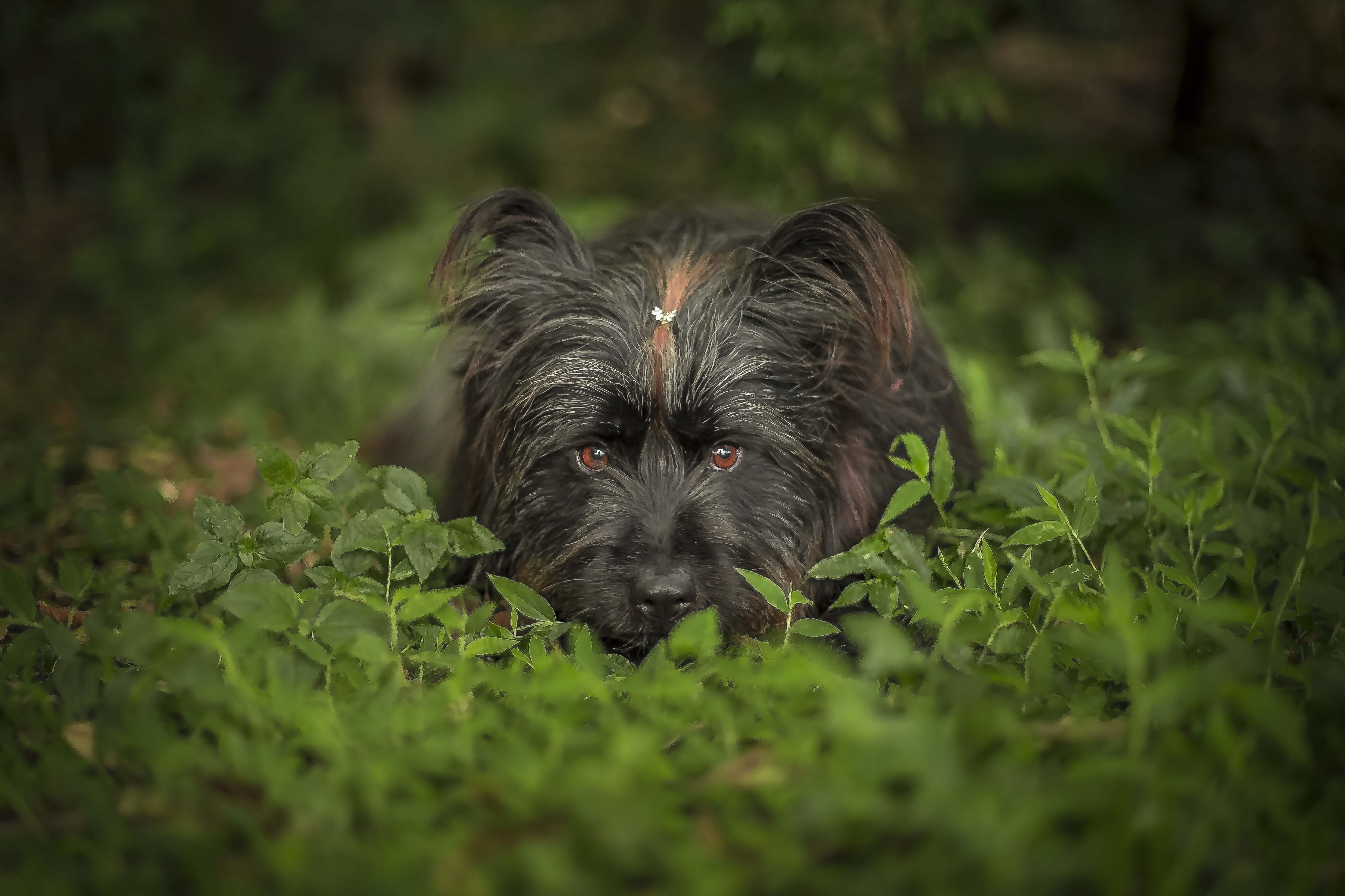 Big black dog