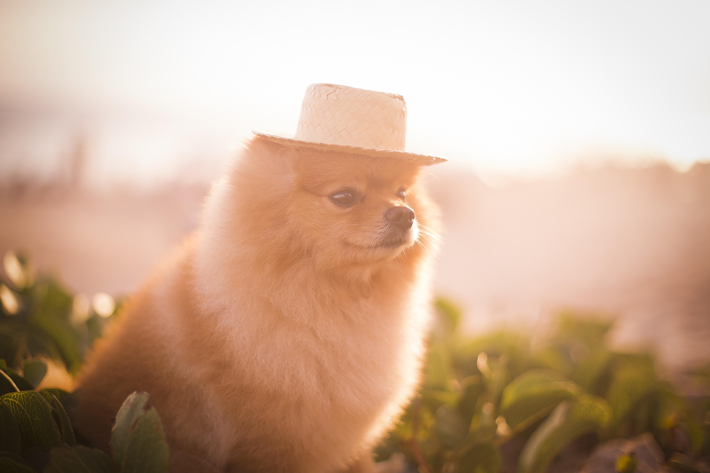 Pomeranian lulu dog with hat