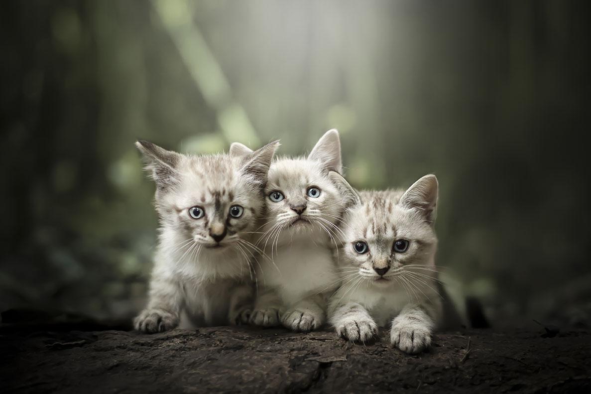 filhotinhos de gato brancos