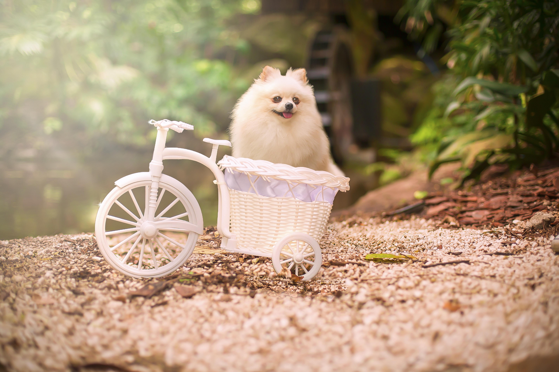 Pomeranian lulu and the bike