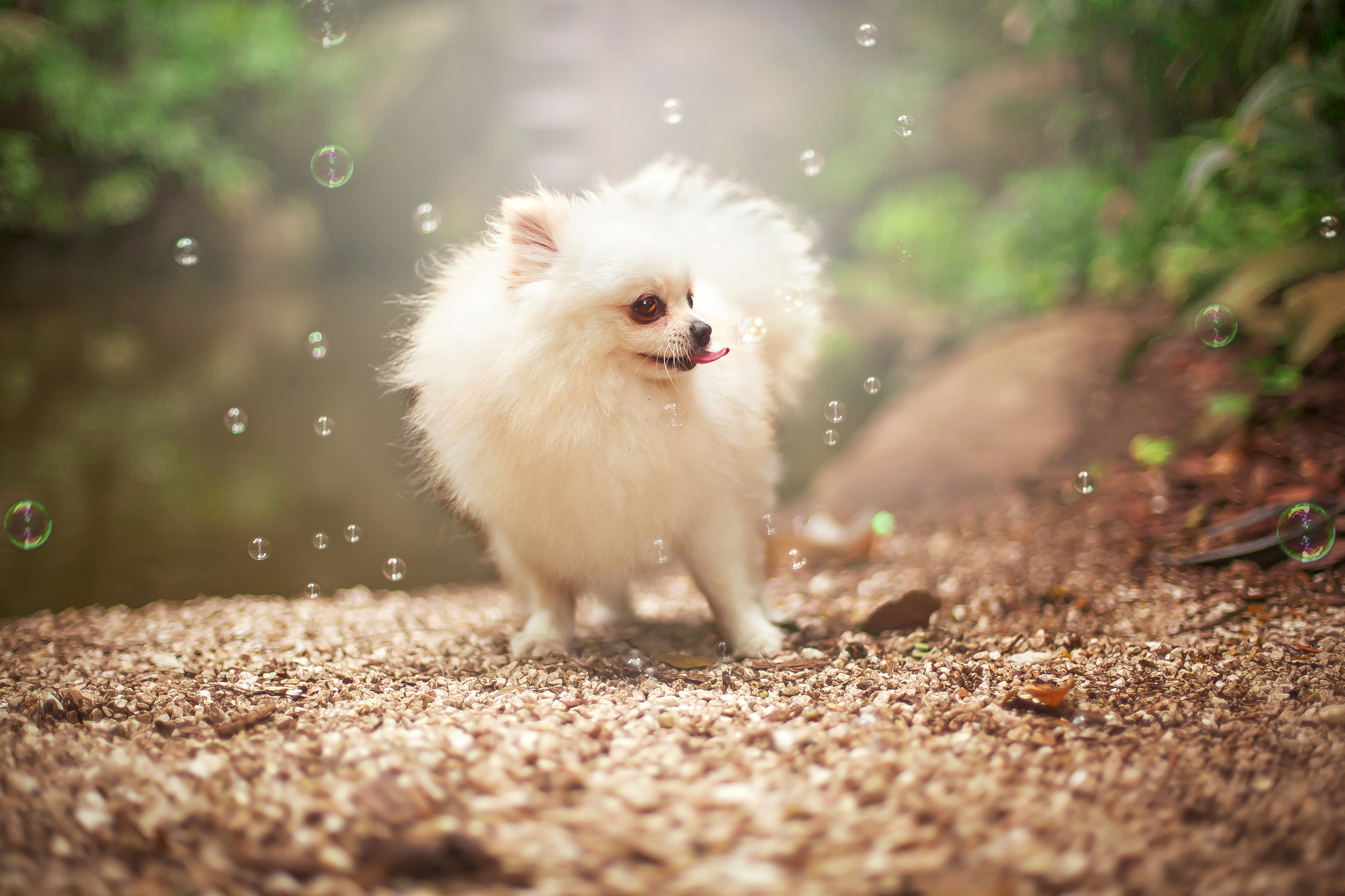 Pomeranian dog and the bubbles
