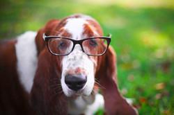 Smart basset hound