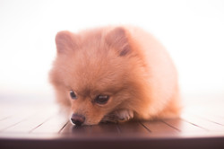 Pomeranian dog resting