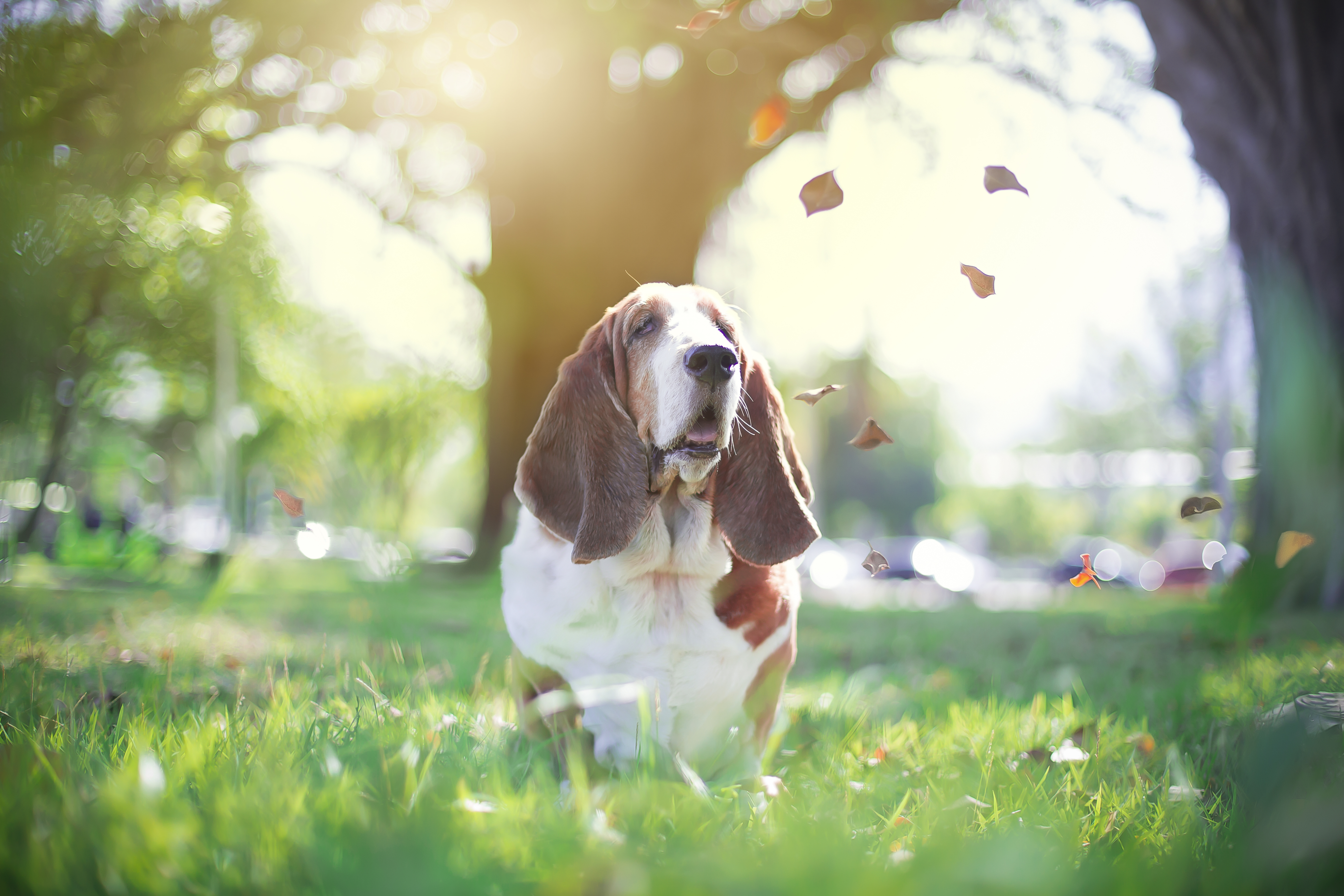Basset Hound and the autumn leaves
