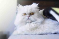 Persian cat waking up