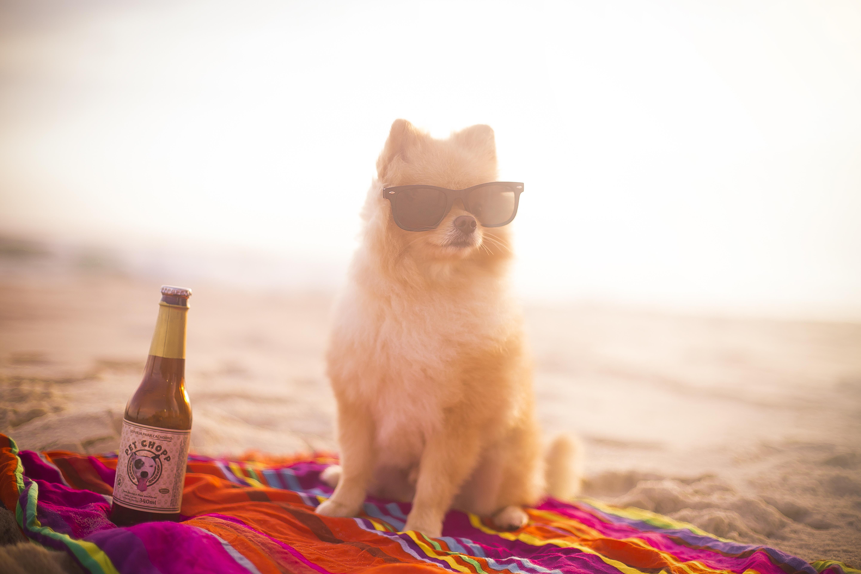 Pomeranian dog at the beach