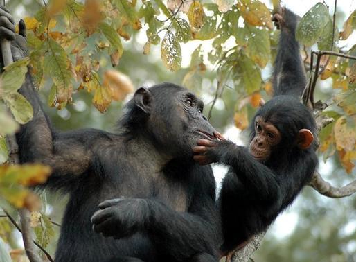 Chimpancés y bonobos: nuestros primos evolutivos