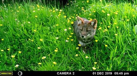 La resiliencia del zorro chilote, uno de los más pequeños del mundo