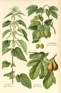 drawing - nettle hops figs.jpg