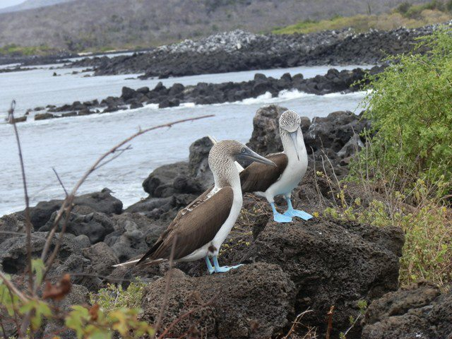 blue-footed boobies.jpg