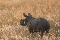 White Rhino calf, South Africa