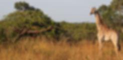 giraffe 1 (2).JPG