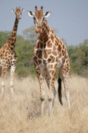 Curious giraffe (Large).JPG