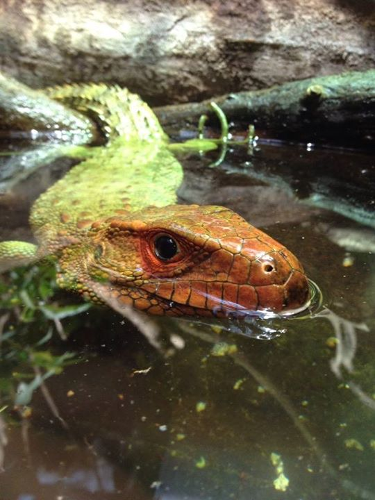 Fave picture from the zoo today; Caiman