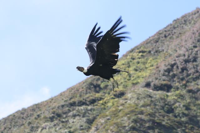 Male Andean Condor