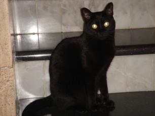 Mitos sobre los gatos: supersticiones y el gato negro