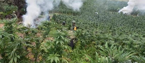 Sedena destruye 35 mdp en plantíos de marihuana en Tomochi.