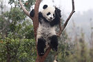 Baby Panda shutterstock_544108129 (2).jp