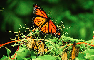 Monarch Butterflies shutterstock_1422785