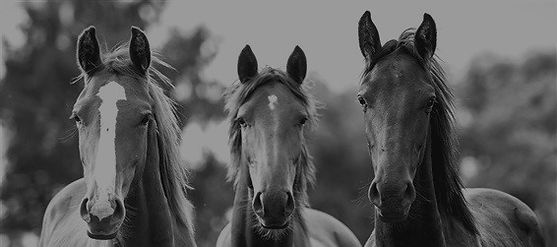 Three-horses-front-view_m_edited_edited_