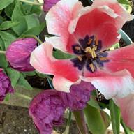 blown-tulip.jpg