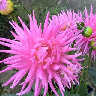 dahlia-bright-pink.jpg