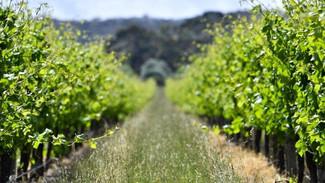 "Sauvignon blanc with a dash of oak — and ""smoke"" -Tony Love"