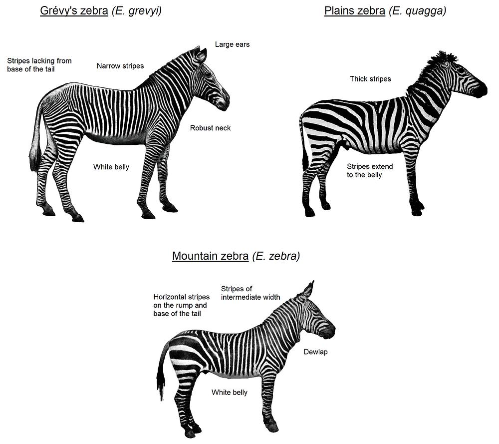 Exisiting zebra species