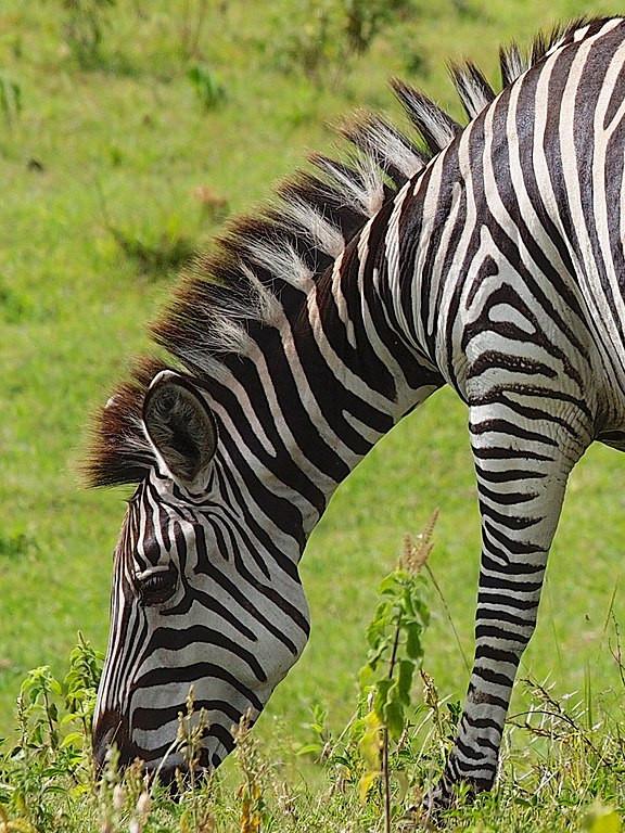 Zebra in Arusha National Park