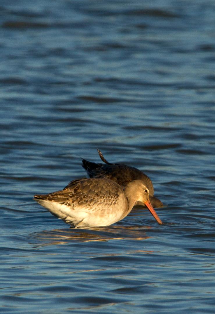 black-tailed godwit.jpg