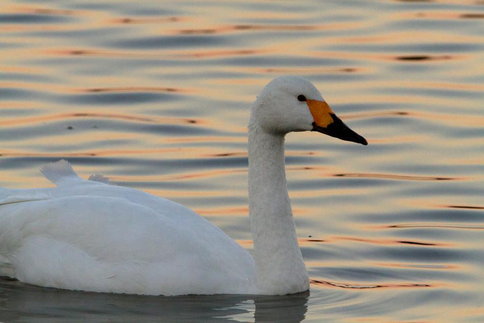 bewick swan 2.jpg