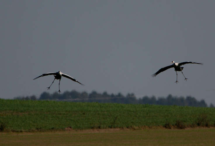 cranes landing.jpg