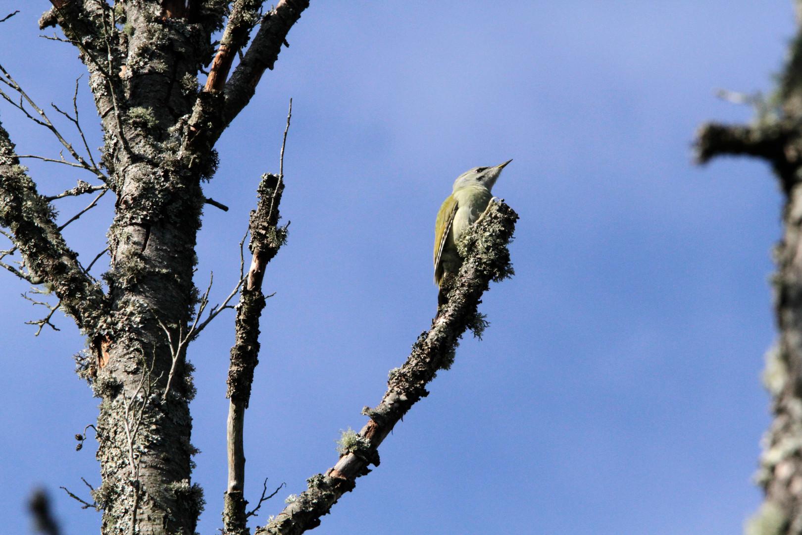 grey headed woodpecker 6.JPG