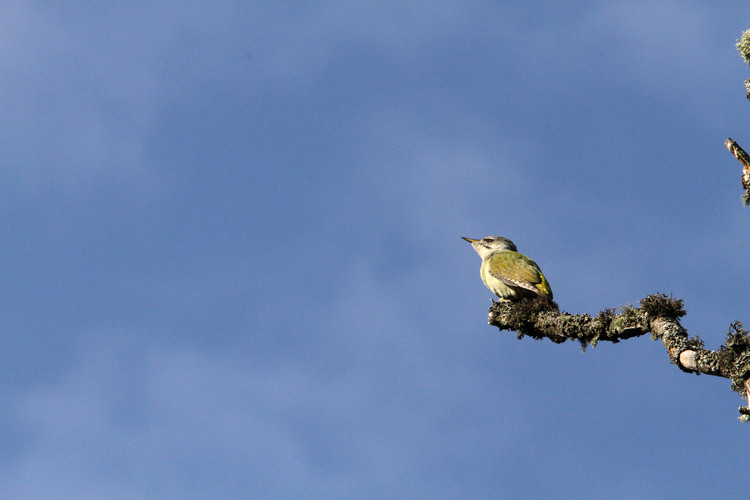 grey headed woodpecker 5.JPG