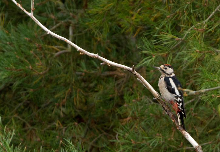great spotted woodpecker 2.jpg